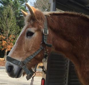 Rescued Draft Horse Grady