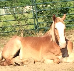 Rescued Draft Horse Big Ben