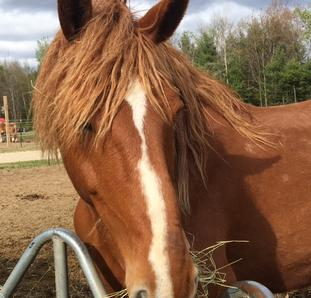 Rescued Draft Horse Anne