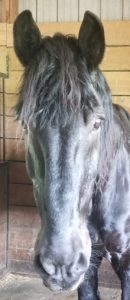 Draft Gratitude's Bill the Percheron