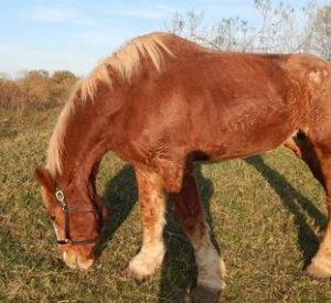 Rescued Draft Horse Lady