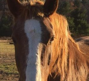Rescued Draft Horse Trooper