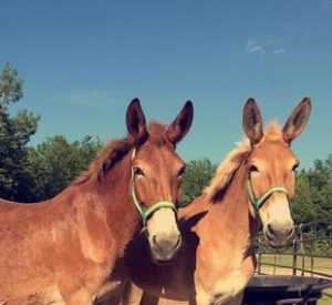 Rescued Draft Mules