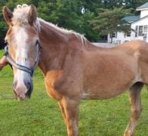 Rescued Draft Horse Bella