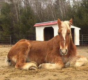 Rescued Draft Horse Charile