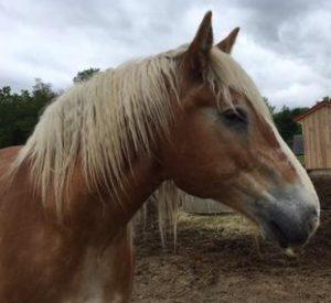 Rescued Draft Horse Big Jake