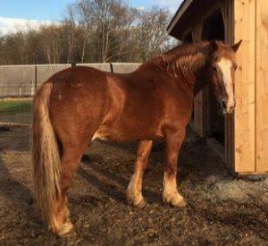 Rescued Draft Horse Duke