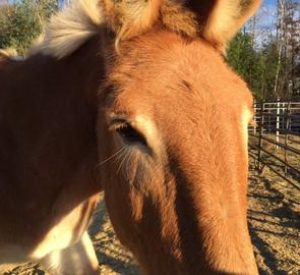 Rescued Draft Horse Clover