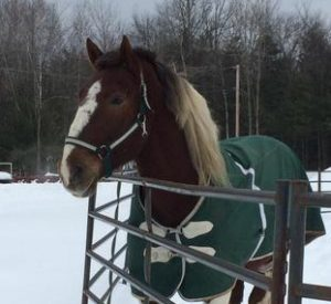 Rescued Draft Horse Tonka