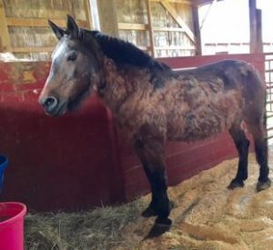 Rescued Draft Horse Megan