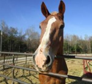 Rescued Draft Horse Captain