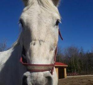 Rescued Draft Horse Jetstar
