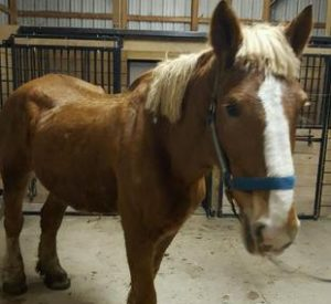 Rescued Draft Horse Judy