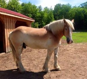 Rescued Draft Horse Beau