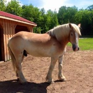 Rescued Draft Horse Beau