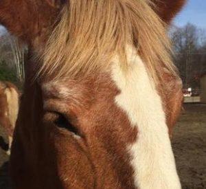 Rescued Draft Horse Sylvia