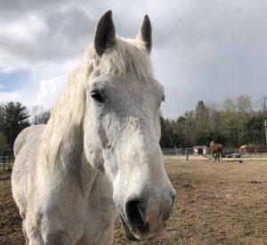 Buddy draft gratidude horse